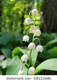 Lily of the valley (Convallaria majalis)   blooms in may forest