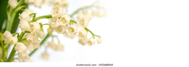 Lily of the valley flower blossom, white panoramic background. May 1st, May Day web banner - Shutterstock ID 1950688969