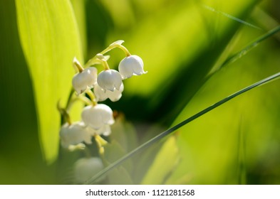 lily of the valley flower in spring garden