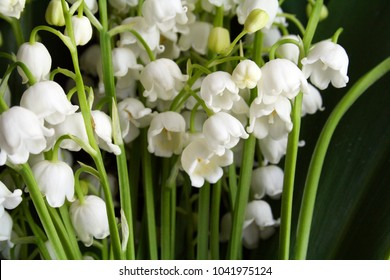 Lily of the valley flowers blossom