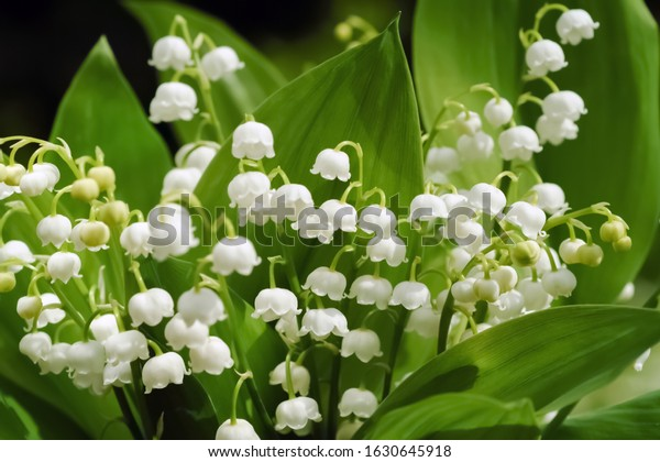 "Lily of the Valley flowers (Convallaria majalis) tiny white bells called ""Maiglöckchen"" in Germany close up"