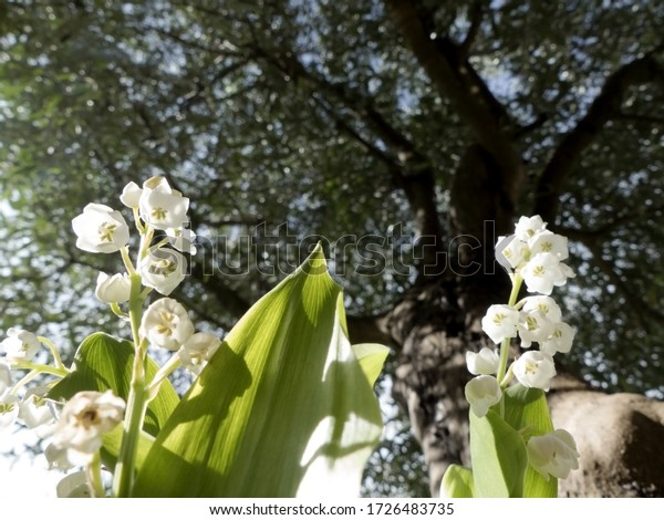 Lily of the valley flowers in May