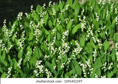 Lily of the Valley flowers in nature