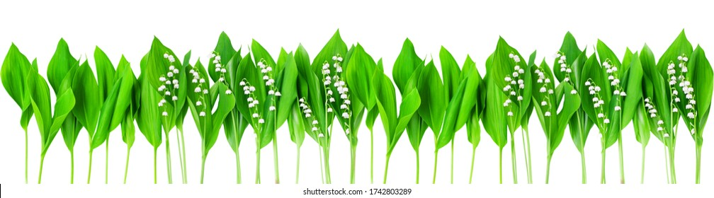 Lily of the valley & green leaves wide border white background isolated closeup, may lilly flowers frame, convallaria majalis, summer wallpaper, spring nature pattern, floral texture, foliage ornament