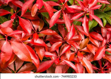 Lily of the Valley, mountain fire. pieris, japonica