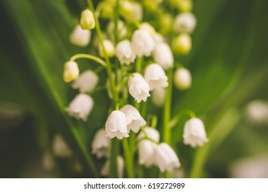 Lily of the valley plants are one of the most fragrant blooming plants in the spring and early summer throughout the northern temperate zone. Lily of the valley flower background. Close up. Macro.