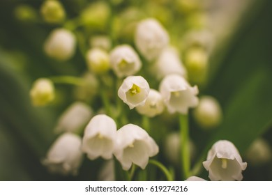 Lily of the valley plants are one of the most fragrant blooming plants in the spring and early summer throughout the northern temperate zone. Lily of the valley flower background. Copy space.