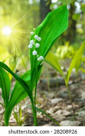 lily of the valley in the rays of sun