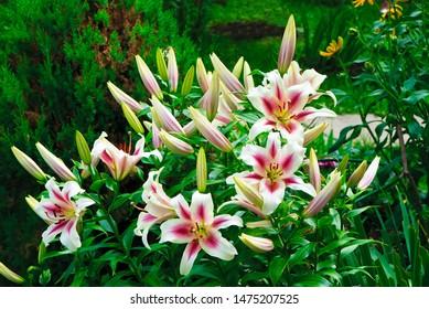 Lily varieties Nymphs (lat. Lilium Nymph)