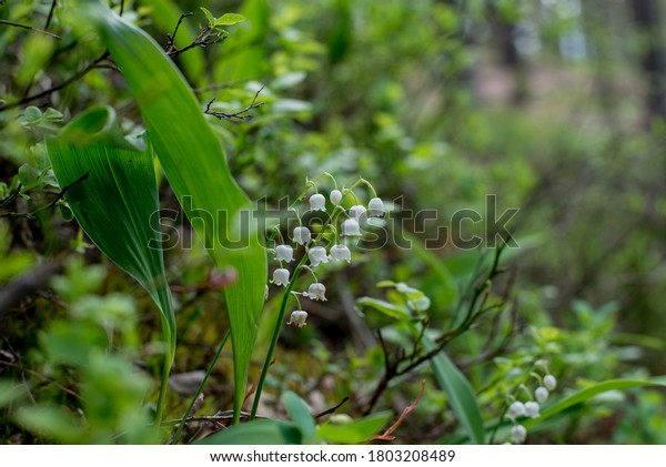 Lily-of-the-valley (Convallaria majalis) blooming in pine forest. Soft white flowers on the stem with long leaf on blurred background. Spring on Karelian isthmus. Russia.