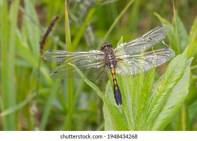 Lilypad whiteface darter or Leucorrhinia caudalis dragonfly drying the soft fragile wings on a plant of lysimachia because it just left the exhuvia and the water