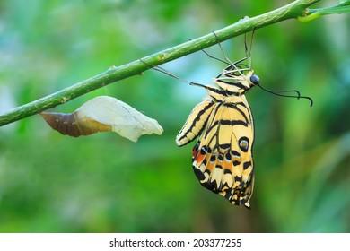 Lime butterfly change form chrysalis (Papilio demoleus malayanus Wallace).