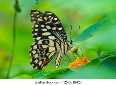 The lime butterfly also known as lemon butterfly, lime swallowtail, and chequered swallowtail. Unlike most swallowtail butterflies, it does not have a prominent tail. It found from Asia to Austrlia.