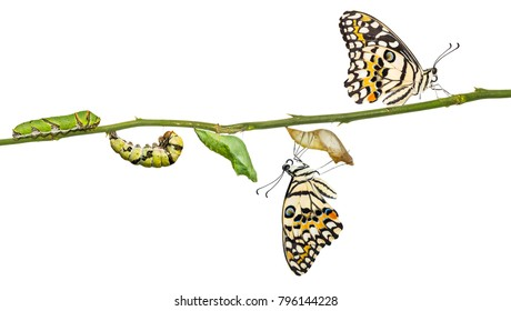 Lime butterfly or Lemon butterfly (Papilio demoleus) life cycle, from caterpillar to pupa and its adult form, isolated on white background with clipping path