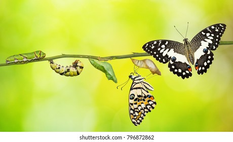 Lime butterfly or Lemon butterfly (Papilio demoleus) life cycle, from caterpillar to pupa and its adult form