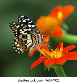 lime butterfly on a mexican sunflower