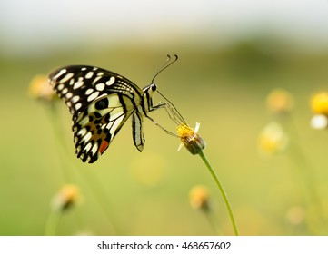 Lime butterfly (Papilio Demoleus butterfly) collecting nectar on wild grass flowers with natural green background, macro.