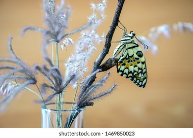 Lime butterfly or papilio demoleus butterfly are leaving the pupa and caterpillar.