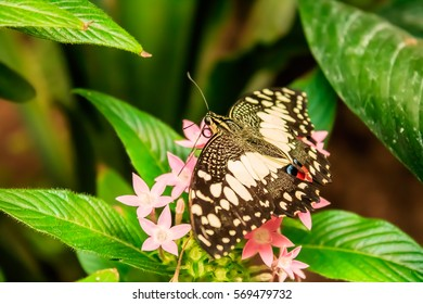 Lime Butterfly (Papilio demoleus) on Green Leaves
