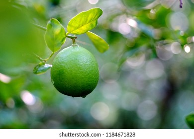 Lime Or Citrus aurantifolia (Christm.) on the tree, Close Up nature view Lime and leaf on blurred and bokeh greenery background, beautiful green nature background. Selective focus.