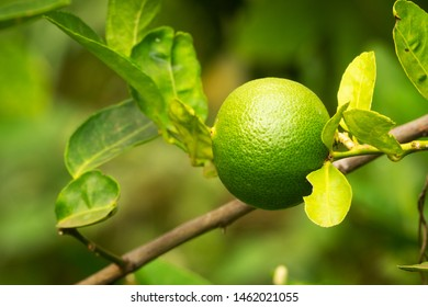 Lime Fruit On Tree, close up of citrus fruit