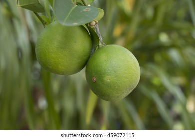 Lime fruit on the tree with leaves background