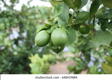 Lime fruit that is still green