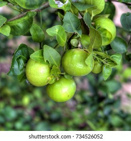 lime fruits on the tree close