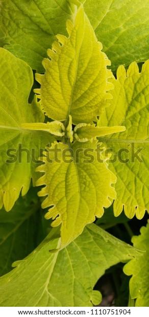 Lime Green Wasabi Coleus Stock Photo Edit Now 1110751904
