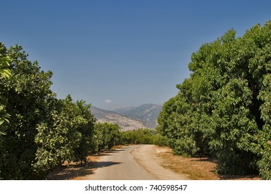 Lime groves in Southern Israel