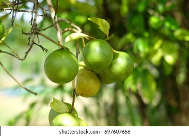 lime hanging on tree