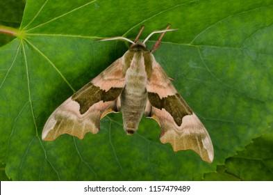 Lime Hawk-moth ( Mimas tiliae ). Sitting on a leaf.