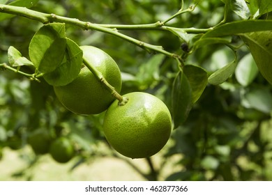 Lime juice may be squeezed from fresh limes, or purchased in bottles in both unsweetened and sweetened varieties. Lime juice is used to make limeade, and as an ingredient  in many cocktails.