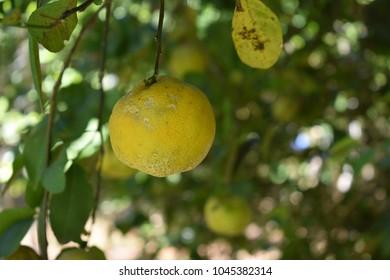lime lemon grapefruit