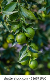 Lime on tree branch