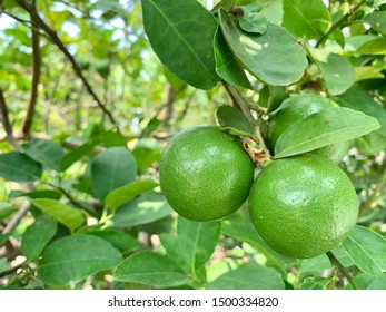 Lime on tree with green leave, Lemon farm