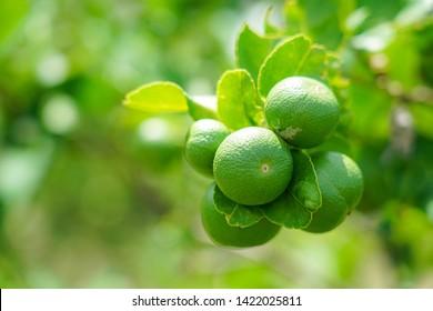 lime ready for harvest fresh on tree in backyard garden.