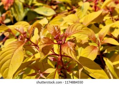 Lime Sizzler Firebush Plant