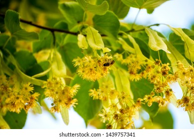 lime tree blossom in summer in Germany