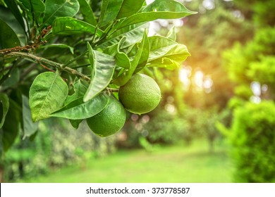 Lime tree with fruits closeup