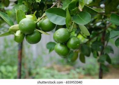 Lime tree with fruits closeup select focus. Raw materials of food Thailand.