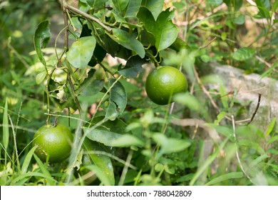 Lime Tree in the garden