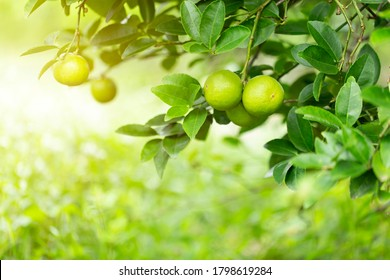 lime tree in the garden are excellent source of vitamin C.Green organic lime citrus fruit hanging on tree.