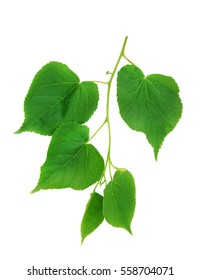 Lime tree leaves isolated on white