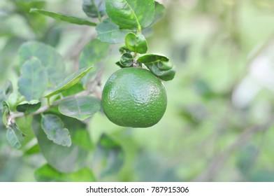 Lime tree , Lemon tree