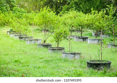 the lime tree plantation on the cement round pot