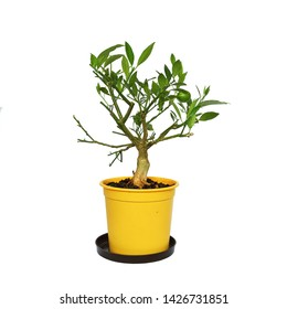 lime tree pre bonsai isolated on white background ( Citrus sinensis )