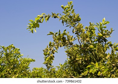 Lime tree with ripe limes and blue sky background