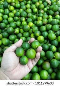 Lime,Calamansi lime known as Limau Kasturi in Malaysia