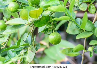 lime,lemon is a citrus fruit, the juice, peel and oil are used to make medicine. tree widely grown in tropical and subtropical area and its edible acid fruits.